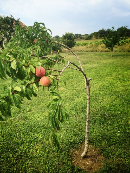Their tiny peach tree. With six peaches almost ready to pick.