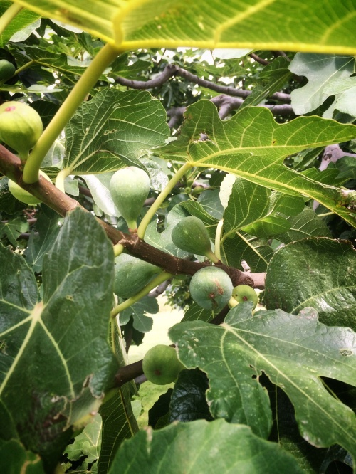 Their fig tree. We got the last of the first harvest, and they would then harvest again at the end of September. Amazing.